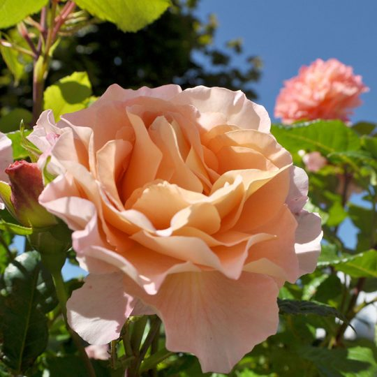 https://waldperle.com/wp-content/uploads/2016/08/rose-540x540.jpg